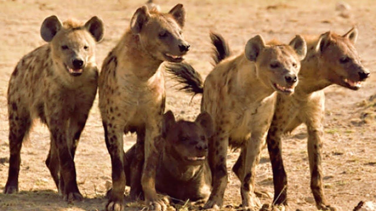 Manada de hienas